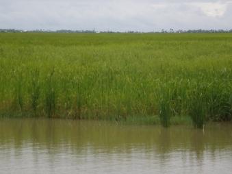 収穫を待つ水田